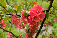 Bright red flowers on a Bush with green leaves Stock Image