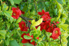 Bright red flowers and fresh green leaves Royalty Free Stock Photo