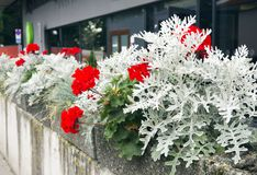 Bright red flowers of pelargonium and white leaves of cineraria on the city flowerbed. royalty free stock image