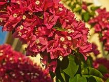 The bright red flowers shrub Stock Photos