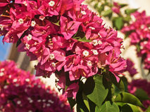 The bright red flowers shrub Stock Images