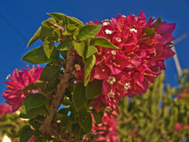 The bright red flowers shrub stock image
