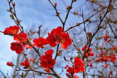 Bright red flowers of the spitfire flowering quince. On a background of blue sky Stock Photography