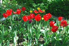 Bright red flowers Tulip Royalty Free Stock Photos