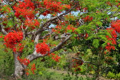 Bright red flowers on what's known as The Christmas Tree in Fiji Stock Image