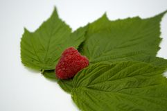 Bright red fresh raspberries, from a family orchard. The raspberry type is Polana. In Serbia Royalty Free Stock Image