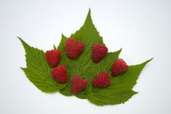 Bright red fresh raspberries, from a family orchard. The raspberry type is Polana. In Serbia Stock Images