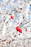 Bright Red Frosted Berries. Bright red rosehip berries covered in frost on a bright winter day Stock Image