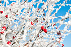 Bright Red Frosted Berries. Bright red rosehip berries covered in frost on a bright winter day Stock Images
