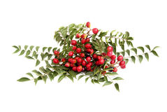 Bright Red Fruit And Leaves Of Curry Leaf Tree royalty free stock images