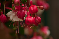 Bright Red Fuchsia hanging plant. Bright red and white fuchsia plant hanging with morning dew royalty free stock photos
