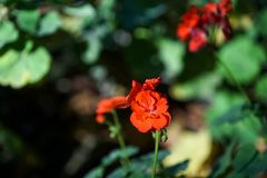 The bright red of the geranium flower with lush petals on blurred green background Stock Photography