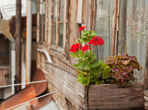 Bright red geranium flowers on the balcony of an old  house Royalty Free Stock Image