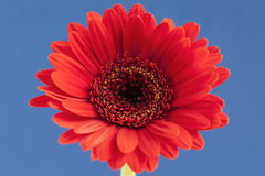 Bright red Gerbera central on a blue background Stock Photo