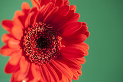 A bright red gerbera  on a contrasting green background Stock Photos