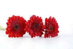 Bright red gerbera daisy flowers Stock Photography