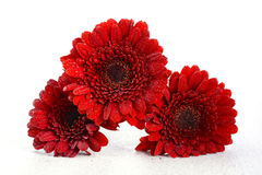 Bright red gerbera daisy flowers Royalty Free Stock Photos