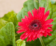 Bright red Gerbera Daisy after rain Royalty Free Stock Photo