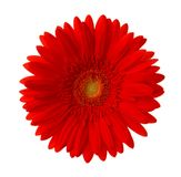 Bright red Gerbera flower isolated on white background Stock Image
