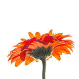 Bright red gerbera flower isolated on white background Stock Photo
