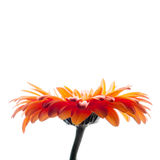 Bright red gerbera flower isolated on white background Stock Photos