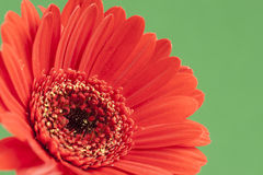 Bright Red Gerbera on green background Royalty Free Stock Photo