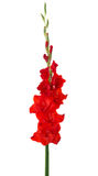Bright red  Gladiolus isolated on white background Royalty Free Stock Image