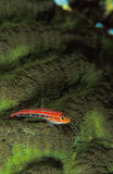 A bright red gobi fish resting on a texturous green coral Stock Photo