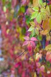 Bright red autumn leaves of wild grapes Royalty Free Stock Images