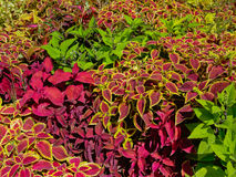 Bright red and green coleus plant background Royalty Free Stock Photos