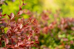 Bright red-green color bush barberry royalty free stock photography