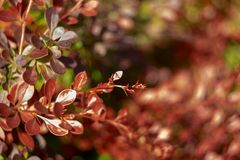 Bright red-green color bush barberry. Young branches with shiny leaves royalty free stock photo