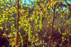 Bright red and green male and female alder tree catkin buds. And small leaves in sunlight at spring. Abstract natural background Stock Image