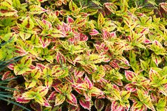 Bright Red Green Skullcaplike Coleus, Coleus Blumei, also named painted nettle background. They are cultivated as ornamental plant. S, which is popular as a stock images
