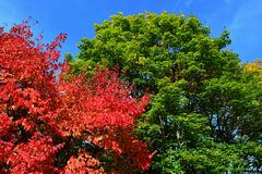 Bright red, green, and yellow coloured leaves on maple trees crowns Acer genus during autumn season in botanic garden, blue skies. As background, afternoon Royalty Free Stock Photos