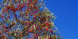 Bright Red Gumnuts, Very Blue Sky Stock Photography