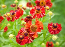 Bright red helenium flowers Stock Photography