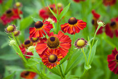 Bright red helenium flowers Royalty Free Stock Images