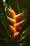 Bright red heliconia flowers emerge from dark shadows in Florida Royalty Free Stock Photo