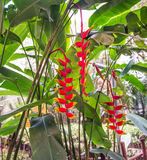 Bright red heliconia rostrata. In the Amazon rain forest in Thailand Stock Image