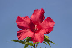 Bright Red Hibiscus Blossom Against an Azure Sky Stock Images