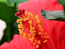 Bright Red Hibiscus Closeup with foliage in Foreground and Background royalty free stock photography
