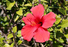 Bright Red Hibiscus Flower Stock Image
