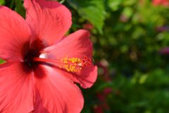Bright red hibiscus flower, close-up
