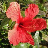 Bright red hibiscus flower in full-bloom in a sunny garden moving with the wind. Close-up. Bright red hibiscus china rose flower plant in full-bloom and its stock photo
