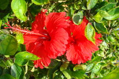 Bright red hibiscus flower. In the Maldives Royalty Free Stock Photography