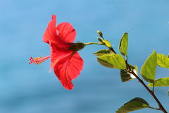 Bright Red Hibiscus flower - Malvaceae. A bright red hibiscus flower with backlit leaves and a blue blurred sea background Royalty Free Stock Photo