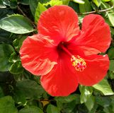 Red hibiscus in full-bloom with bright green leaves in a garden. Close up. Bright red hibiscus flower plant in full-bloom with bright green leaves in a garden stock photography