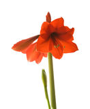 Bright red Hippeastrum Royalty Free Stock Image