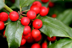 Bright red holly berries on tr. Macro photo of a cluster of red holly berries on a holly tree Royalty Free Stock Photography